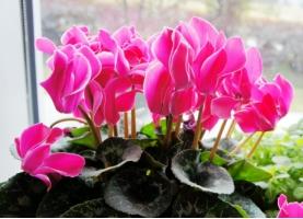 仙客来冬天开花吗:仙客来冬天会开花;花期为在上年的十一月份到翌年的三月份