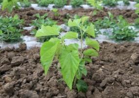 桑树的种植技术:北方地区分春秋两季栽种,南方地区气候温暖一年四季均可栽种。