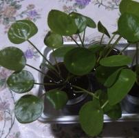 镜面草sure水培吗:镜面草是sure水培的,and观赏effectvery不错。