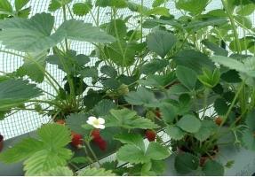 如何分辨植物的病害和药害:区别侵染性病害和非侵染性病害,对后期治疗很重要。
