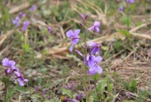紫花苜蓿的莳植技术