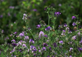 紫花苜蓿的功效与感化:具有清胃热、清湿热、利尿、消肿等感化。