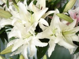 百合花为什么要摘掉花蕊:为了不影响美观及延长百合花的花期
