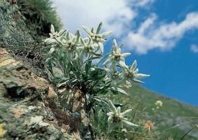 雪絨花養殖方法:由于在整個生長期比較怕熱,最適生長溫度為10~15℃