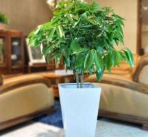平安树可以放在卧室吗:体型较小的平安树可以放在卧室,可有效去除异味