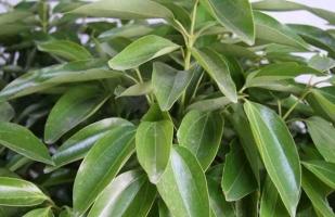 平安树怎么修剪:平安树一年四季都可以修剪,但以春,秋两季最好
