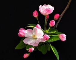 海棠花什么时候开,农历3月到5月/一年只开一次花