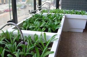 油麦菜怎样种植:地栽和盆栽方法有所不同