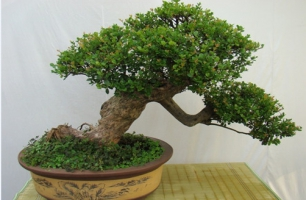 盆栽赤楠的造景与养护:赤楠造景分为:抹芽促长、修枝整形、摘心养景三步