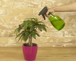 发财树怎么浇水:注意浇水一定要浇透,但不能有积水