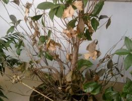 四季桂叶子干枯怎么办?只要五步就能完美解决