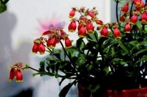 宫灯长寿花怎么养,四个步骤教你养出美丽的长寿花