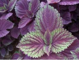 紫苏是什么,生存力超强的草本植物/可食用可入药