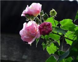 木芙蓉花什么时候开花,花期在9—11月