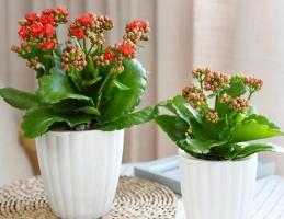 长寿花怎样养殖方法,5个技巧教你养育出美丽的长寿花