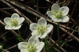 梅花草是什么:虎耳草科多年生草本植物,但与梅花并不是近亲相干