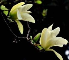 白兰花和黄桷兰的区别,三种方法教你一眼识别