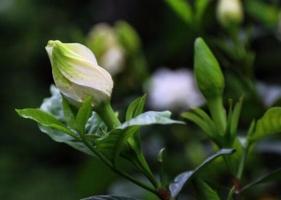 栀子花什么时候长花苞,栀子花不长花苞怎么办