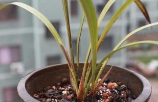 怎样判断兰花生病:从叶子的健康状态判断