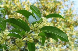 四季桂叶子发黄怎么办:找准病因,对症下药