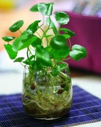 倒挂金钟怎么养_花卉种植 花卉养殖_植物之家