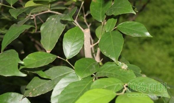 硫磺杜鹃_濒危植物与植物保护_植物之家