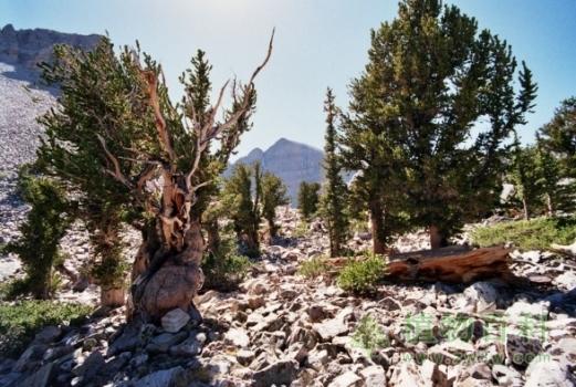 你知道世界上最古老的树是什么吗?