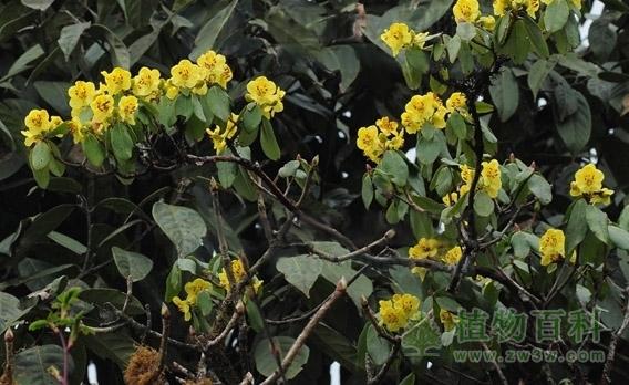 硫磺杜鹃_硫磺杜鹃_植物保护_植物百科