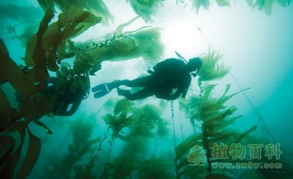 世界最大的藻类植物--巨藻