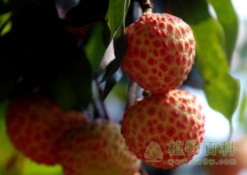 世界最鲜美的水果--荔枝