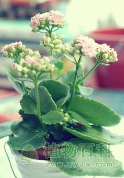 长寿花是否有毒?[sbf123胜博发娱乐百科为您揭秘]