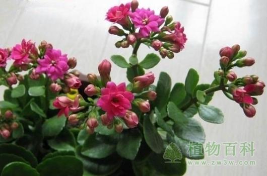长寿花对室内环境的作用