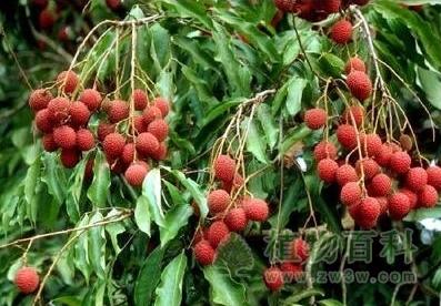 世界最老的荔枝树--宋家香