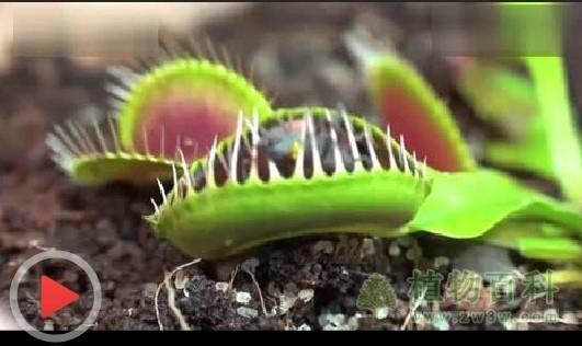 捕蝇草视频-[在线看]