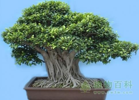 榕树的养殖方法和注意事项-[手把手教你养殖榕树]