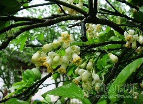 柚子树花期图