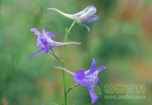 [飞燕草花期]飞燕草什么时候开花