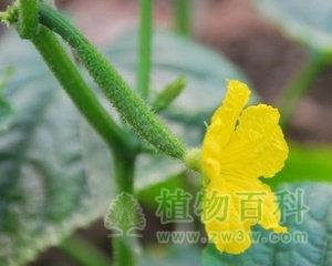 [黄瓜花期]黄瓜什么时候开花
