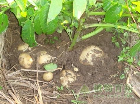 马铃薯种植图