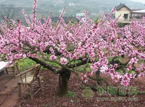 [桃树种植时间]桃树什么时候种植