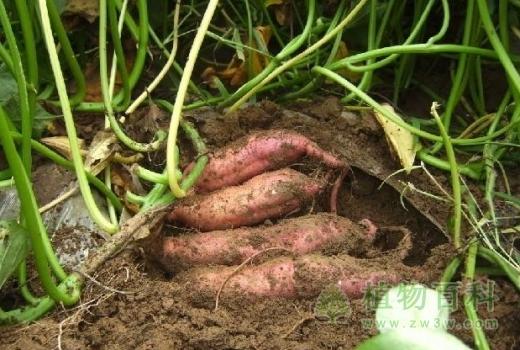 [红薯种植时间]红薯什么时候种