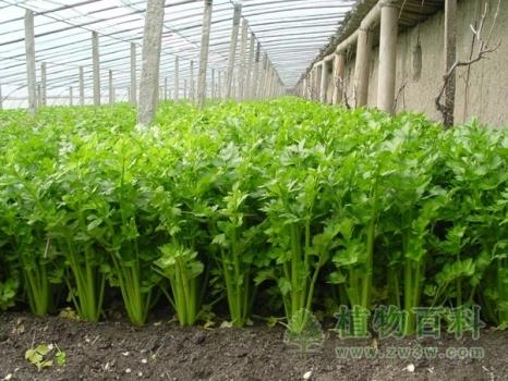 [芹菜种植时间]芹菜什么时候播种