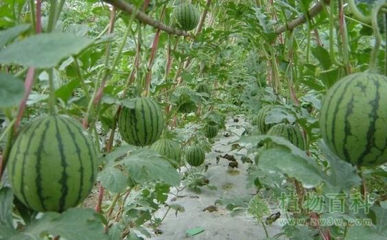 [西瓜种植时间]西瓜什么时候种植