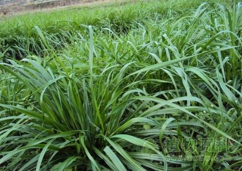 [黑麦草种植时间]黑麦草什么时候播种