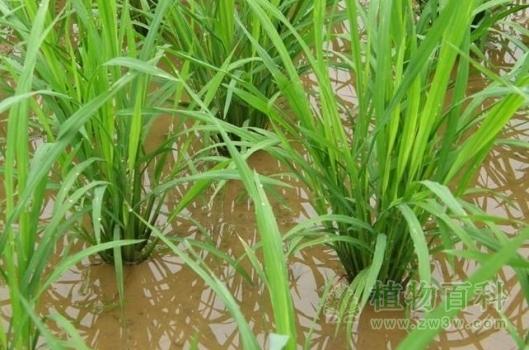 [早稻种植时间]早稻什么时候播种