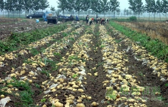 [土豆种植时间]土豆什么时候种