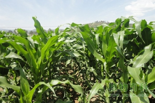 [春玉米种植时间]春玉米什么时候播种