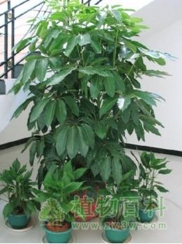 [了解招财树]招财树有毒吗