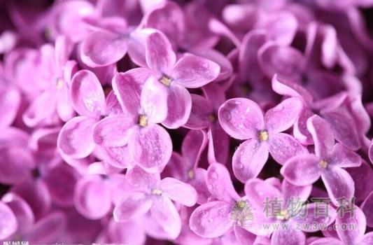 [了解紫丁香]紫丁香有毒吗
