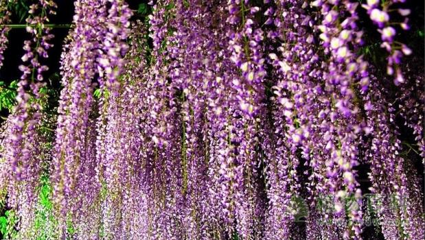 [了解紫荆花]紫荆花有毒吗